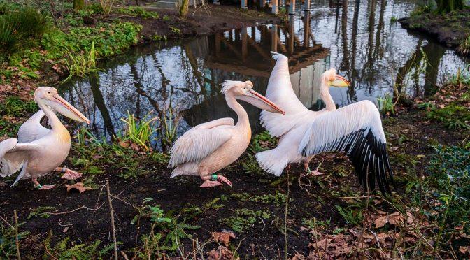 Pelikanen in Artis